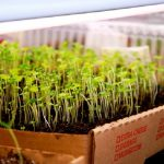 How to germinate seeds indoors?